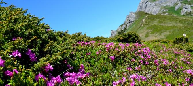 Ciucaş – splendoare în roz